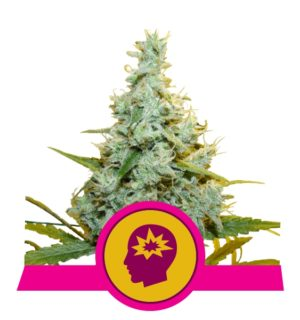 AMG X1 ROYAL QUEEN SEEDS