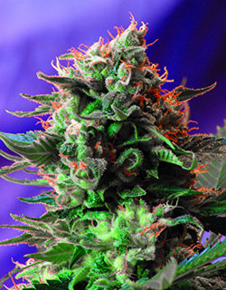 JACK 47 FAST VERSION X4 SWEETS SEEDS