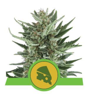 AUTO ROYAL CHEESE 1 SEMILLAS ROYAL QUEEN SEEDS